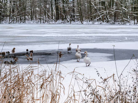 frozen lake with swans and ducks 写真素材