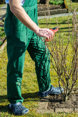 men Cutting the buds of the shrub