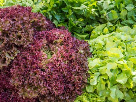 salad Lollo Rosso in a field