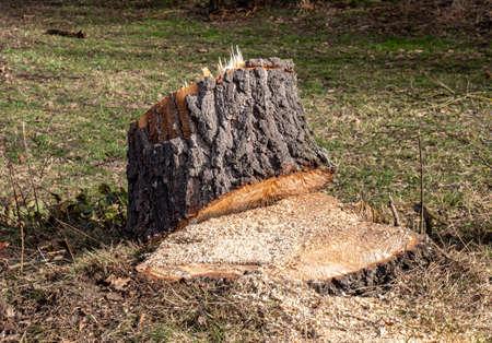 Felling trees in the spring park 免版税图像