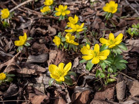 yellow Winterlings flowers in February