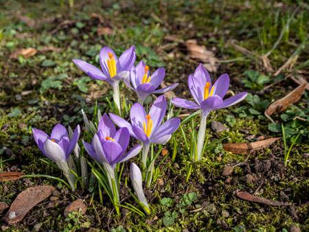 Crocus blooms in the park in spring