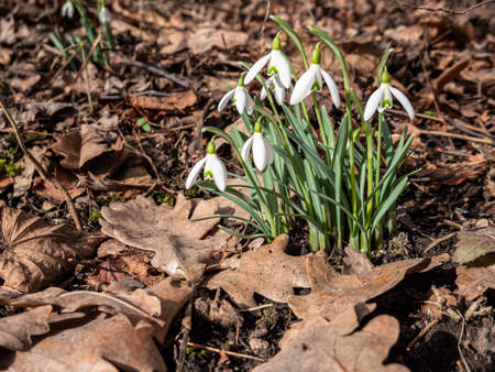 Snowdrops in spring on a meadow with fallen leaves 免版税图像