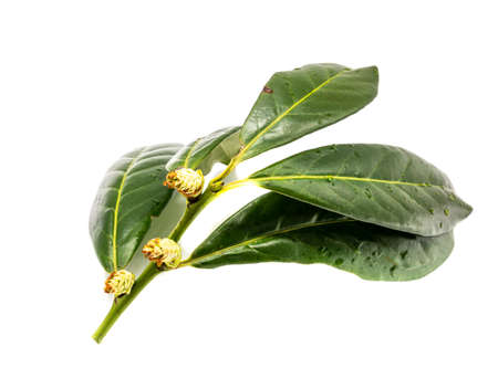 Cherry laurel Prunus laurocerasus isolated on white background Stock fotó
