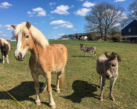 Haflinger and donkey on a pasture