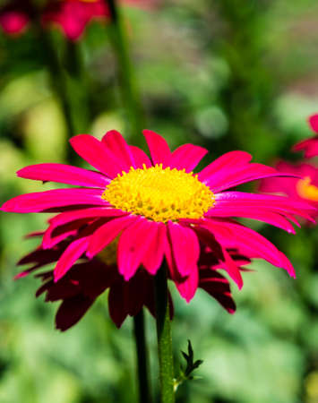Colorful marguerite Robinsons red flower