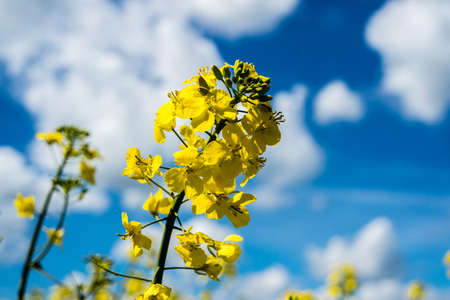 Rape Blossom in the Spring