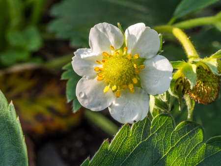 Strawberry blossom Plant in the garden