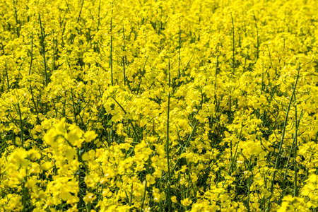 Rapeseed field, Blooming canola flowers texture