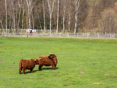 Scottish highland cattle in a meadow
