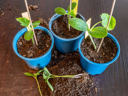 Raising young plants in the spring