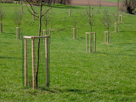 young trees on an orchard meadow