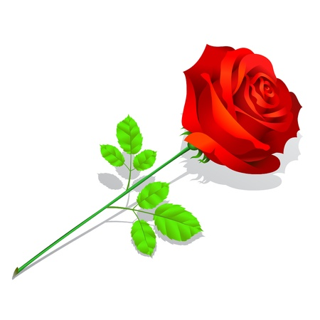 Red rose is lying on white background, isolated