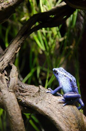 blue frog: Rana azul en la rama Foto de archivo