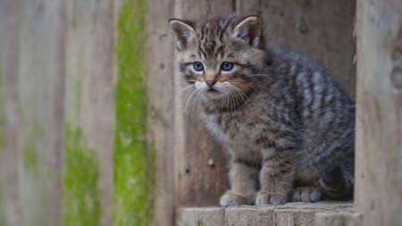 tigre: Wild Kitty