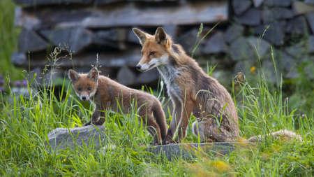 jeune: Baby Fox with mother Stock Photo