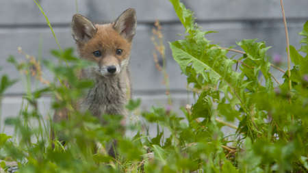 jeune: Baby Fox Stock Photo