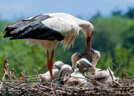 young bird: Stork is feeding
