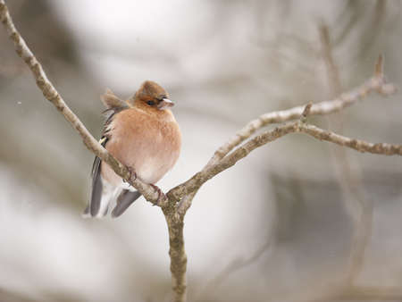 arbres: Chaffinch on a branch Stock Photo