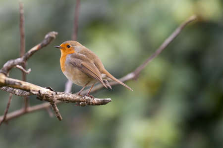 zweig: Robin on a branch Stock Photo