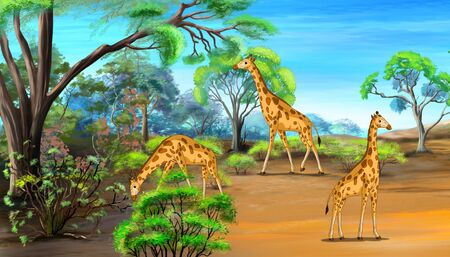 camelopardalis: Herd of giraffes grazing in the savannah sunny summer day. Digital painting  cartoon style full color illustration.