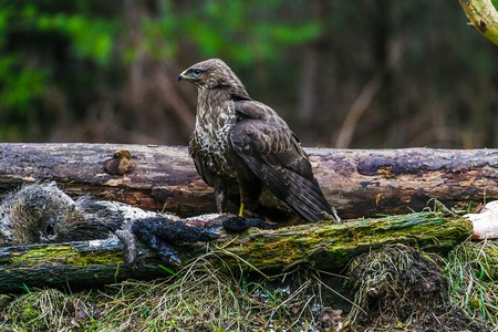Common buzzard (Buteo buteo), bird of prey, standing in a forest in a spring day