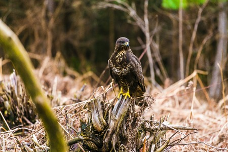zopilote: Common buzzard (Buteo buteo), bird of prey, standing in a forest in a spring day