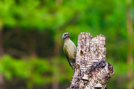 Gray-headed Woodpecker sitting on a tree stump in a spring forest Stock Photo