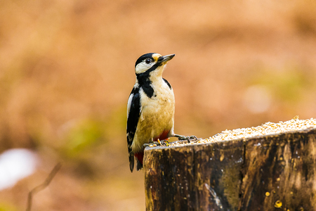Great Spotted Woodpecker sitting on a stump in a forest Stock Photo