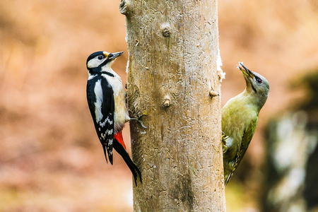 Great Spotted and gray-headed Woodpeckers sitting on a tree in a spring forest