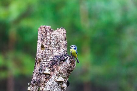 Blue Tit Bird sitting on a stump in a spring forest Stock Photo