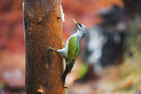 Close-up  Gray-headed Woodpecker sitting on a tree in a rainy spring forest
