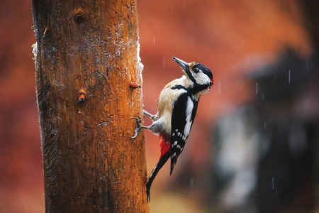 Close-up of Great Spotted Woodpecker sitting on a tree in a rainy spring forest