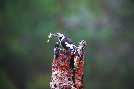 rain forest animal: Close-up of Great Spotted Woodpecker sitting on a tree in a rainy spring forest