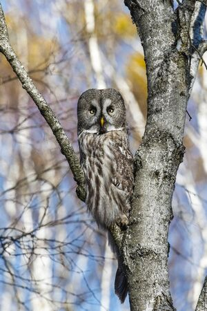 Great Gray Owl sitting on a tree in a spring forest Stock Photo