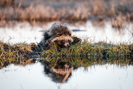 Raccoon Dog (Nyctereutes procyonoides) is   Swimming in the swamp and sitting on a hummock