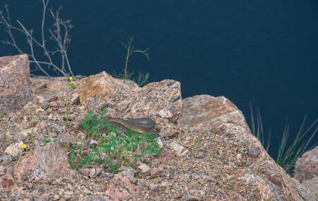Snake on Radon Lake in a place of flooded granite quarry near the Southern Bug river in Mygiya village, Ukraine