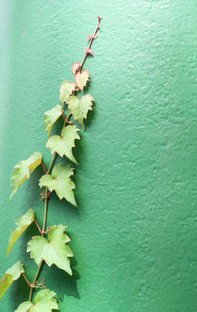 Green Vine photo