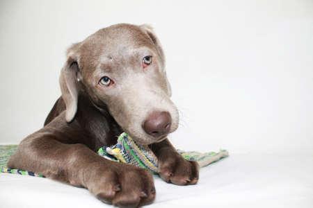 Silver Labrador puppy chews on green carpet Banco de Imagens