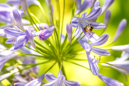 Honeybee and purple Agapanthus (Lily of the Nile)