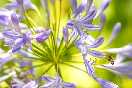 Honigbiene und lila Agapanthus (Lily of the Nile)