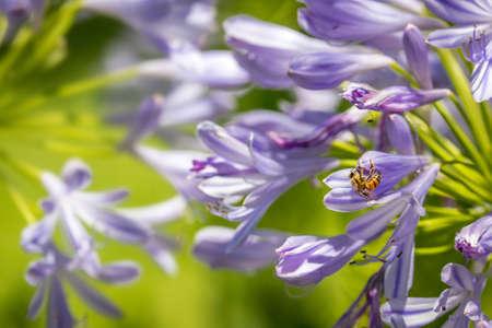Honigbiene und lila Agapanthus (Lily Of The Nile) Standard-Bild