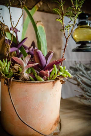 Old country succulents in rusty bucket Stock Photo