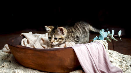 Cute Small Toyger kitten with tiger stripes in a dark studio closeup