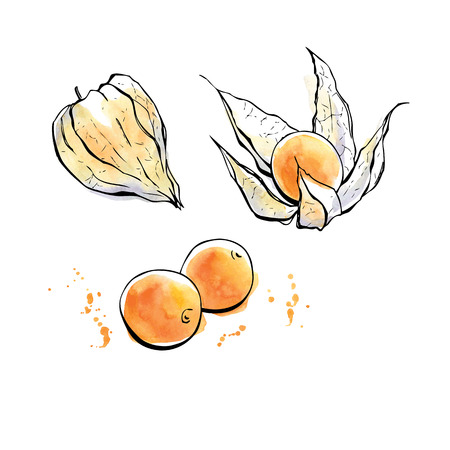 dietary: Vector illustration of super food Golden berries or Physalis. Organic healthy dietary supplement. Hand drawn isolated objects on white background. Black outlines and bright watercolor stains and drips Illustration