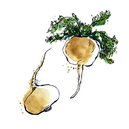 roots: Vector illustration of super food peru maca. Organic healthy food. Hand drawn isolated objects on white background. Black outline and bright watercolor stains and drips.