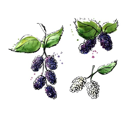 Vector illustration of super food Mulberry. Organic healthy dietary supplement. Black outlines and bright colorful watercolor stains, splashes and drips. Isolated on white background.