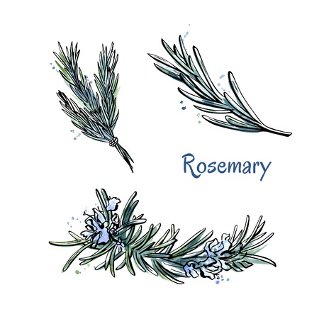 Vector set of doodle sketches of Rosemary. Flowers and Hand drawn elements isolated on white background.