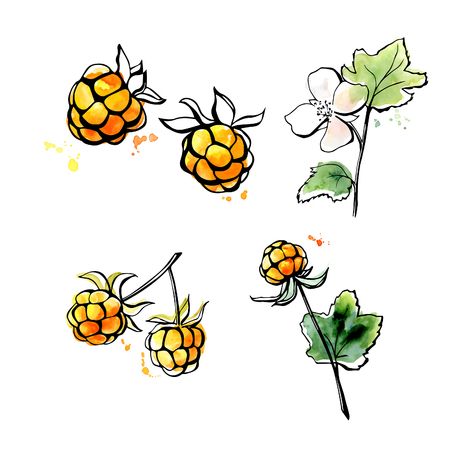 chicout�: Vector illustration of super food Cloudberry. Organic healthy dietary supplement. Black outlines and bright watercolor stains, splashes and drips. Isolated on white background. Illustration