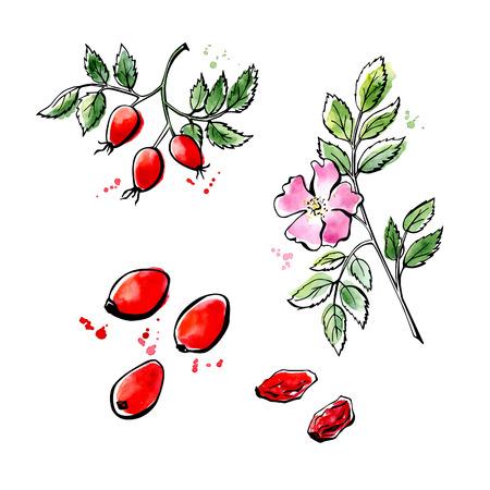 Ilustración del vector de súper alimento de rosa mosqueta. suplemento dietético saludable orgánica. contornos negros y manchas de acuarela brillante, salpicaduras y goteos. Flor, ramo y frutas aisladas sobre fondo blanco.